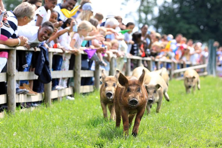 pig race small 768x512