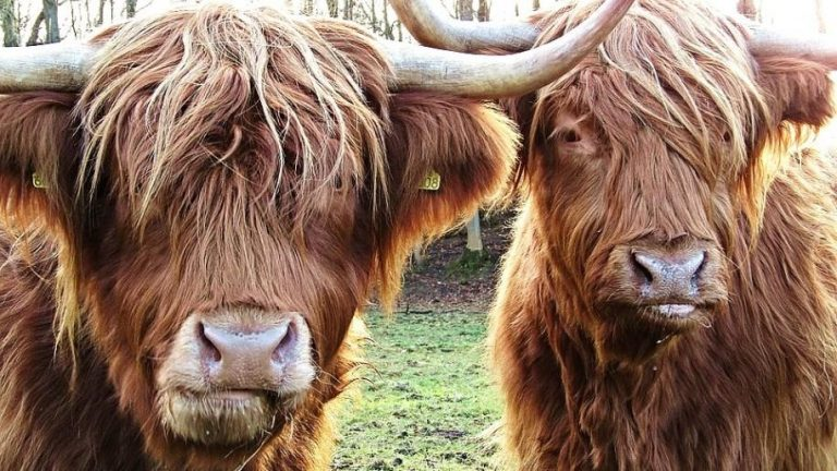 HighlandCattle 915x515 768x432