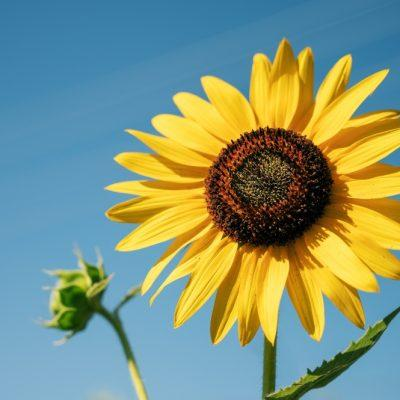 Pick Your Own Sunflowers at Children's Farm Parks in Southern England